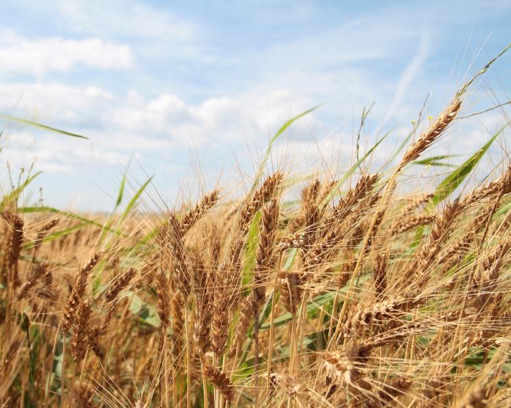 Мировые запасы пшеницы обновят рекорд в сезоне-2019/20