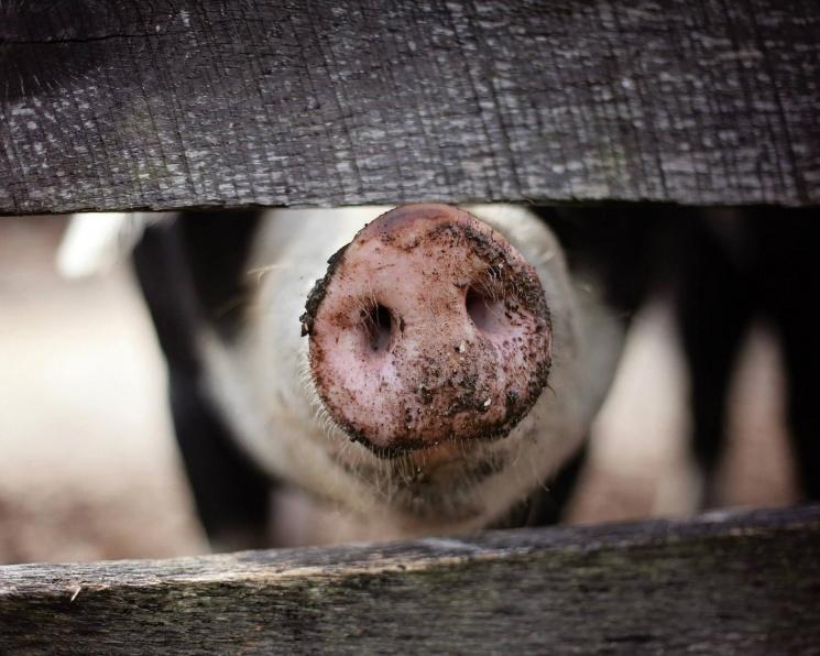 Российский рынок свинины - на пороге первого локального кризиса перепроизводства?