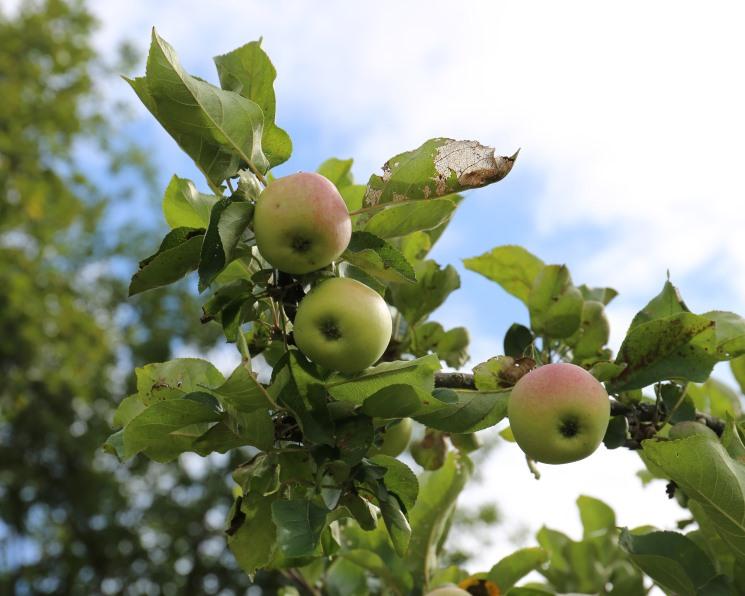 В России соберут не менее 1,35 млн тонн яблок