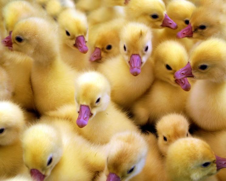 «Русское поле» запустило первое во Владимирской области промышленное производство мяса утки на базе бройлерной птицефабрики «Центральная»