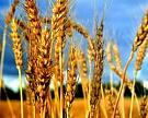 Большой урожай не обвалит цены на зерно