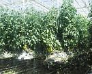 России мало своих овощей. Рост объемов за два года составил 12%