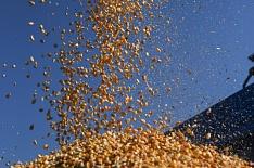 Экспорт кукурузы в сезоне-2018/19 сократится до 2 млн тонн