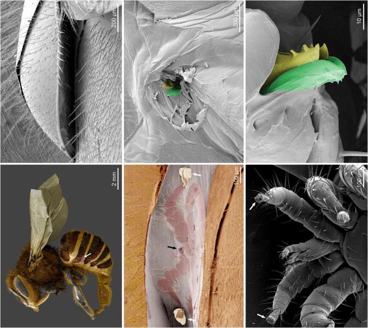 Микроскопические исследования раскрыли механизм работы вредителей пчел