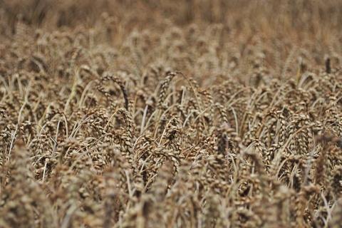 Эксперты вновь снизили прогнозы урожая зерна