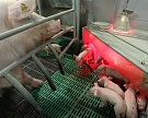 «Русагро» вложит 12 млрд рублей вновые свинокомплексы