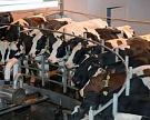 «Золотая Нива» увеличила стадо коров