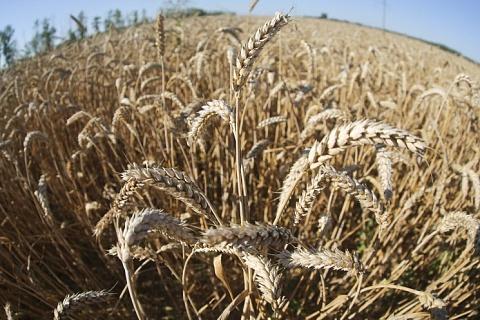 Экспортные цены на пшеницу не снижаются