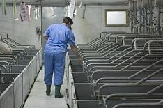 В Ростовской области остановлен свиноводческий проект стоимостью 13,5 млрд рублей