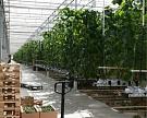 В России станет больше отечественных овощей и зелени