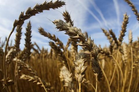 В России впервые за семь лет получена пшеница 1-го класса