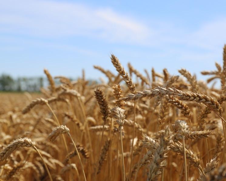 Минсельхоз просит отменить экспортную пошлину напшеницу