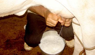 Агропредприятия Башкирии сначала года произвели 118т молока