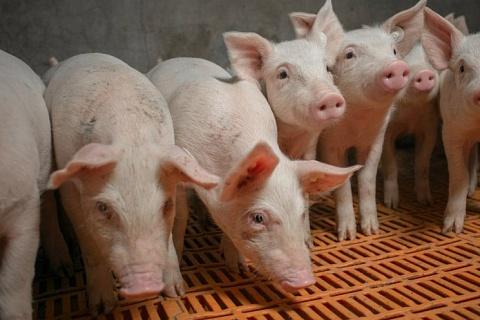«Агроэко» запустила свинокомплекс в Тульской области