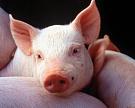 В Белгородской области строится новый свинокомплекс