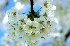 «Белый сад» инвестирует 2,5 млрд рублей в производство яблок