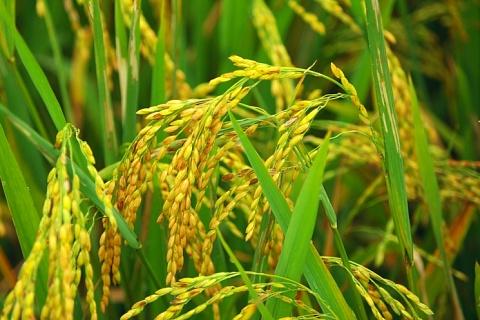 Производство риса может сократиться на треть