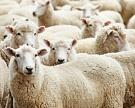 Пора считать овец