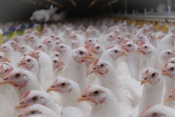 «Приосколье» продает птицефабрику «Черкизово»