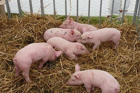 В 2020 году производство свинины прибавит еще до 270 тысяч тонн
