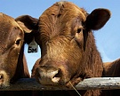 Производство мяса выросло на 3,2%