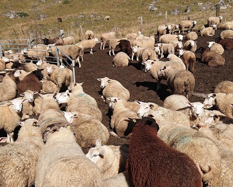 «Дамате» вложит 2 млрд рублей в производство баранины