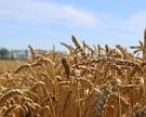 Минсельхоз просит отменить экспортную пошлину на пшеницу