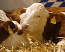 Животноводы Рязанской области намерены разводить герефордов