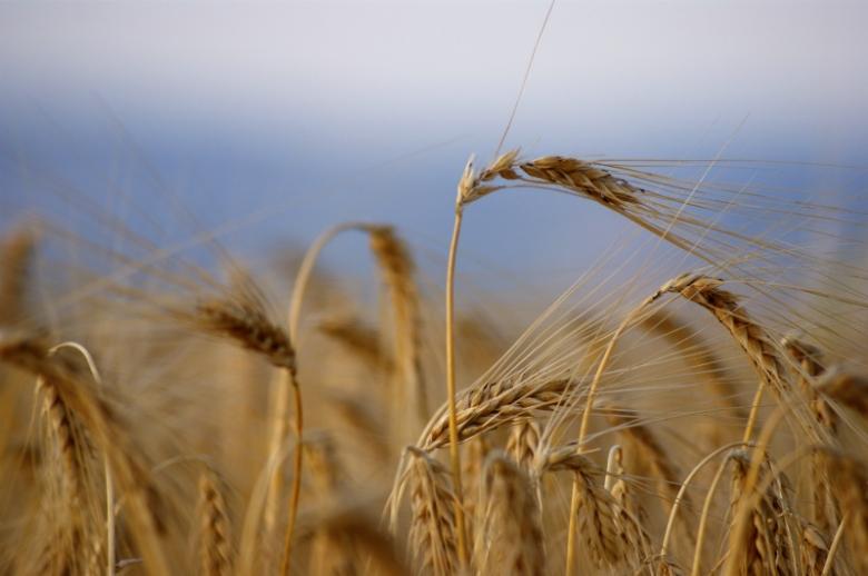 Сколько зерна собирает Россия