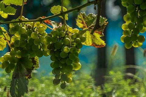 Площадь виноградников в 2020 году может вырасти на 7,5 тысяч гектаров
