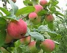 «Агро-Белогорье» будет выращивать яблоки