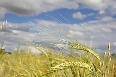 Минсельхоз США понизил прогноз урожая зерна в России