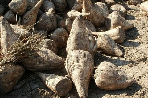 «Русагро» увеличила производство сахара на 17%