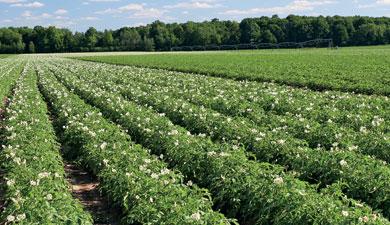 ВКНИИСХ защищают картофель отпроволочника