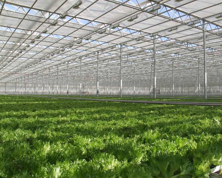 «Эко-Культура» увеличит производство салатов