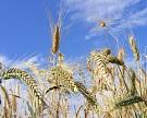 Минсельхоз США повысил прогноз урожая в России