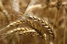 Минсельхоз США повысил прогноз мирового производства пшеницы благодаря России