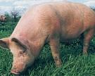 ВБелгороде автоматизировали учет свиней