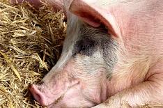 Ящур обнаружен на свинокомплексе в Хабаровском крае