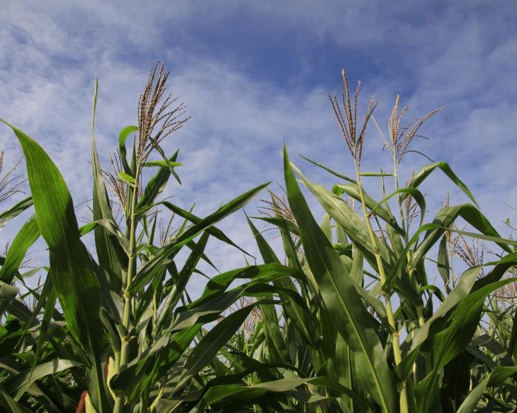 Кукуруза под микроскопом. Экспертный анализ рынка этой культуры
