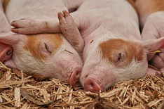 Поголовье свиней в Калининградской области за месяц сократилось на 28%