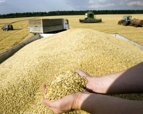 Качество зерна ограничивает экспорт