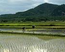 Подземное капельное орошение сэкономит воду для риса