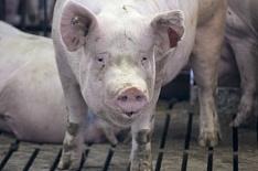 Чума свиней вновь обнаружена у«Русагро»