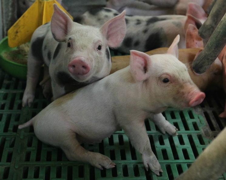 «Русагро» запустит первые свинокомплексы вПриморье осенью