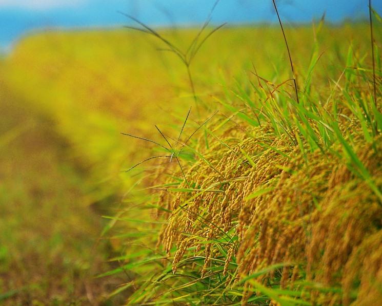 Урожай риса превысит прошлогодний