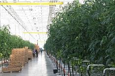 За пять лет производство тепличных овощей может удвоиться