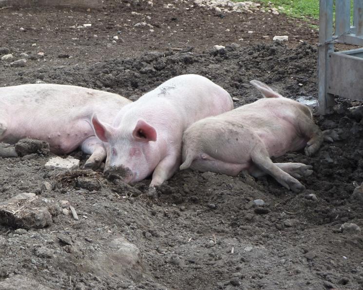 Russia Baltic Pork Invest уничтожило на своем комплексе «Правдинское свинопроизводство» более 111 тыс. свиней