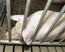 Украина приостановила поставку свинины в Россию