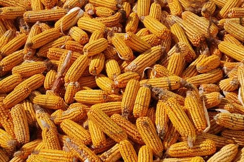 Экспорт кукурузы вырос на 33%